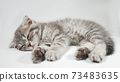 Funny little gray fold scottish kitten kitty sleeping on a white background. 73483635