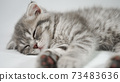Funny little gray fold scottish kitten kitty sleeping on a white background. 73483636