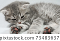 Funny little gray fold scottish kitten kitty sleeping on a white background. 73483637