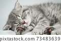 Funny little gray fold scottish kitten kitty sleeping on a white background. 73483639
