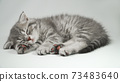 Funny little gray fold scottish kitten kitty sleeping on a white background. 73483640