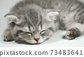 Funny little gray fold scottish kitten kitty sleeping on a white background. 73483641
