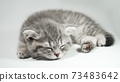 Funny little gray fold scottish kitten kitty sleeping on a white background. 73483642