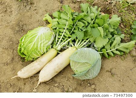 蔬菜田冬季蔬菜蘿蔔,白菜和白菜圖像素材 73497300