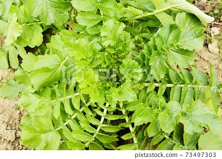 Daikon蔬菜田Daikon田野冬季蔬菜圖像素材 73497303