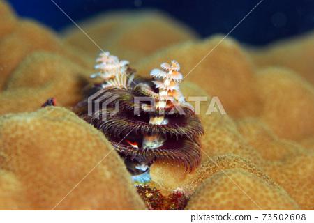 大旋鰓蟲 73502608