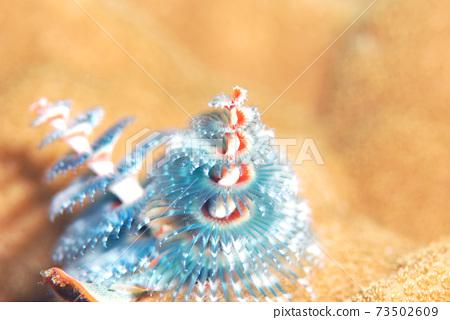 大旋鰓蟲 73502609