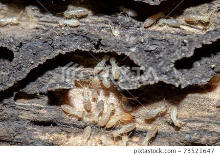 Termites 73521647