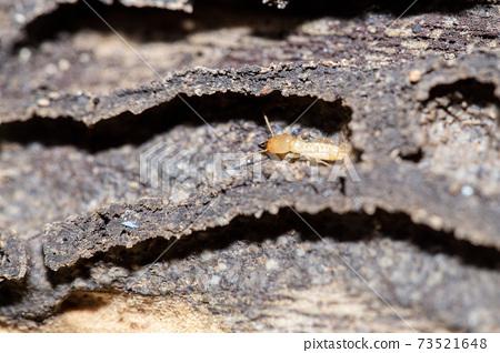 Termites 73521648