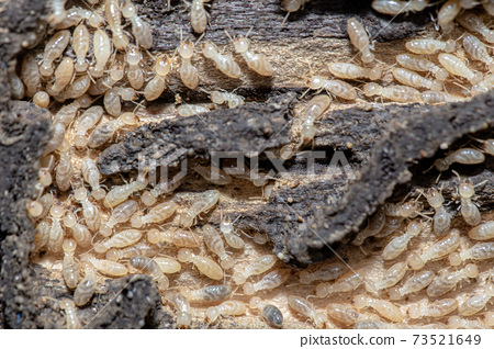 Termites 73521649