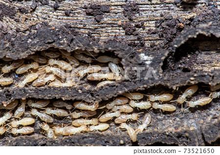 Termites 73521650