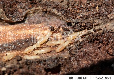 Termites 73521654