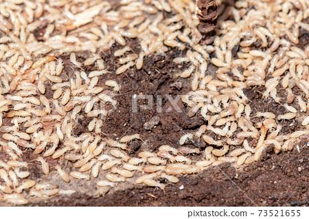 Termites 73521655