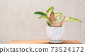 Aglaonema houseplant(Chinese Evergreen) in modern white and black  ceramic container  on wood table with cement wall background 73524172