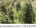 A tomato field in north of Italy 73529306