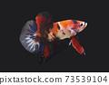 Betta Koi Plakat HMPK Male or Plakat Fighting Fish Splendens On Black Background. 73539104