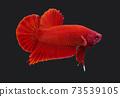 Betta Super Red Plakat HMPK Male or Plakat Fighting Fish Splendens ON Black Background.. 73539105