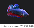 Betta Fancy Draon Plakat HMPK Male or Plakat Fighting Fish Splendens On Black Background. 73539106