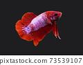 Betta Fancy Red Plakat HMPK Male or Plakat Fighting Fish Splendens On Black Background. 73539107