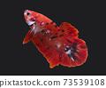 Betta Red Koi Star Galaxy Plakat HMPK Male or Plakat Fighting Fish Splendens On Black Background. 73539108