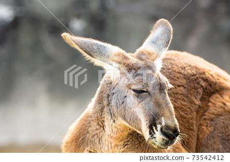 [東山動物園和植物園]赤袋鼠 73542412