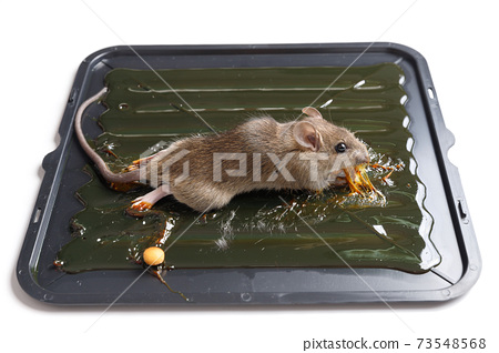 Mouse captured on glue mousetrap board. 73548568