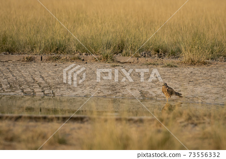 pallid harrier or Circus macrourus with reflection in water for quenching thrist near waterhole at tal chhapar sanctuary rajasthan india 73556332