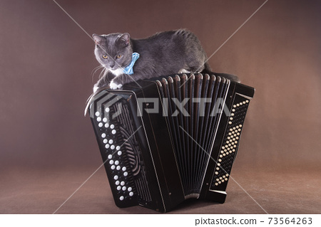 Musical art cat with blue bowtie laying on bayan accordion 73564263