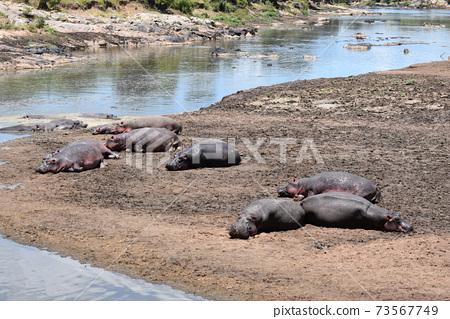 河馬(肯尼亞馬賽馬拉國家公園) 73567749
