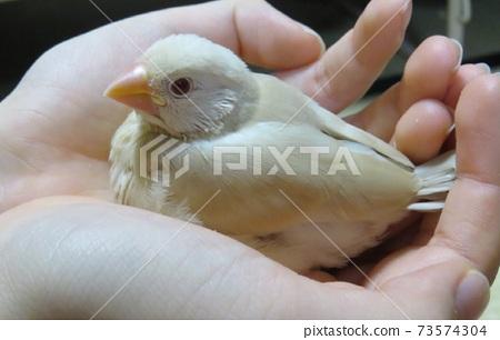 Cream Java sparrow chicks 73574304