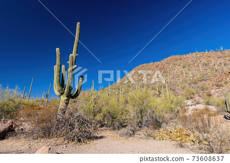 Sunny view of the Saguaro National Park 73608637