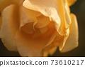 玫瑰花朵特寫 73610217