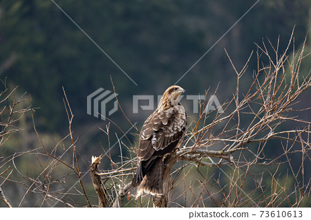 鷹在樹枝上休息 73610613