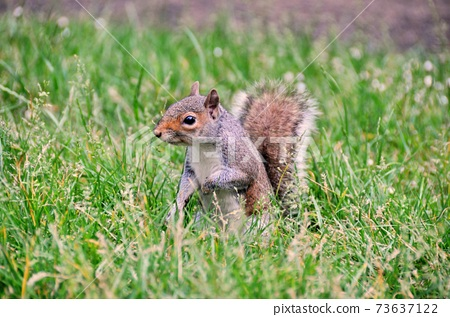 Squirrel in the park 73637122