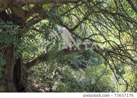 view of goat he-goat in tree crown walking on the branch, eating lush tree leaves, sardinia, Italy 73637176