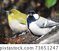 Great tit and white-eye 73651247