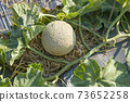 Fresh lot of melons  plants growing on ground 73652258