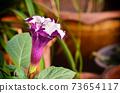 Brugmansia Pers  flower in garden 73654117