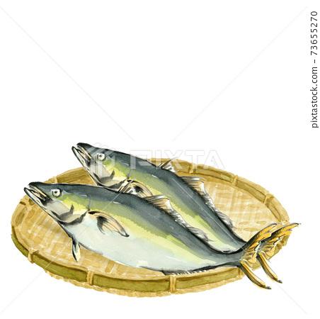 수채화 : 소쿠리에 올려 놓은 鰤 2 마리 만 해산물 소재 복사 공간가 흰색 배경 투명 73655270