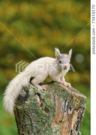 Very rarely colored common squirrel Sciurus vulgaris 73659570