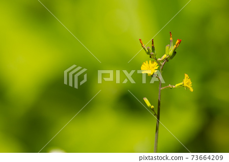A pretty yellow flower that blooms on the side of grasslands and mountain trails 73664209