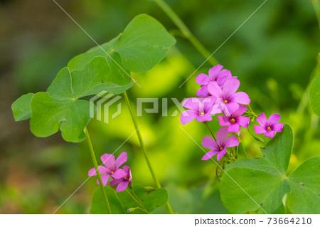 一朵通常被誤認為三葉草的可愛花 73664210