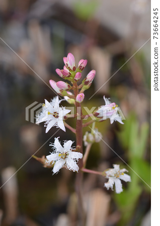 Common bogbean 73664245
