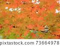 Autumn colored maple leaves 73664978