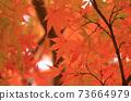 Autumn colored maple leaves 73664979