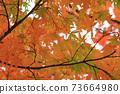 Autumn colored maple leaves 73664980
