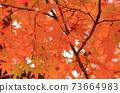 Autumn colored maple leaves 73664983