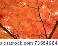 Autumn colored maple leaves 73664984