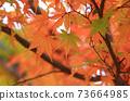 Autumn colored maple leaves 73664985