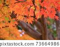 Autumn colored maple leaves 73664986